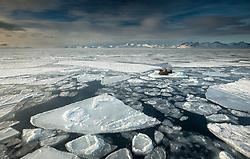 Walrus (Odobenus rosmarus) in Mach, Isfjorden, Spitsbergen, Svalbard, Norway