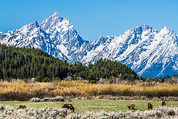 A few of the famous inhabitants of Jackson Hole having a bit of salad in a meadow below the Teton Range in Grand Teton National Park.<br /> <br /> Grizzly 399s Quadruplets have been quite a treat lately.