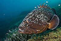 Dusky Grouper (Epinephelus marginatus) - 'endangered' in IUCN Red List - by seagrass<br /> France: Corsica, Lavezzi Islands, Cala di Grecu<br />  [digitally cleaned]