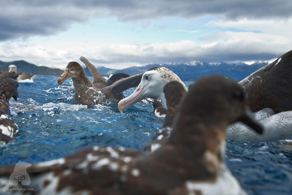 Cape Petrels (Daption capense) and a Wandering Albatross (Diomedea exulans) in the water off the coast of Kaikoura, New Zealand.