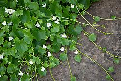 Cymbalaria muralis - Ivy leaved Toadflax, Kenilworth ivy