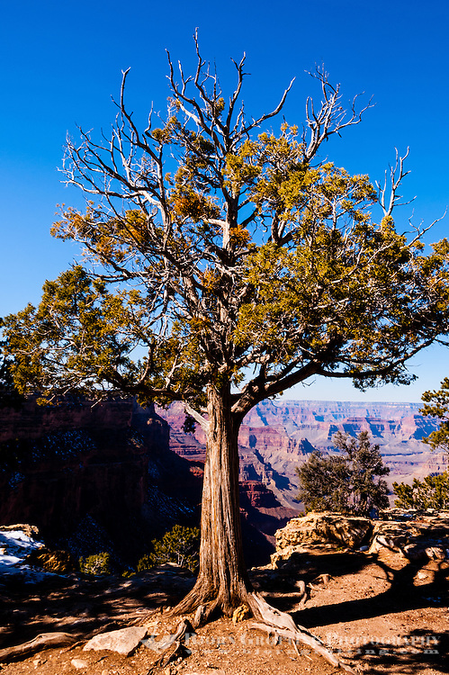 United States, Arizona, Grand Canyon. An old tree at the Abyss.