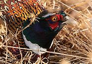 Ring-necked Pheasant, Phasianus colchicus