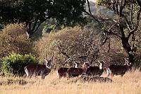 waterbuck Kobus ellipsiprymnus family grazing in the beautiful reserve of masai mara in kenya africa
