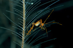 Caprella Sp., Widderkrebschen, skeleton shrimp, Bali, Indonesien, Indopazifik, Bali, Indonesia Asien, Indo-Pacific Ocean, Asia
