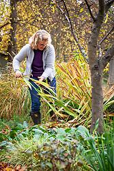 Cutting down perennial foliage - crocosmia - in autumn.
