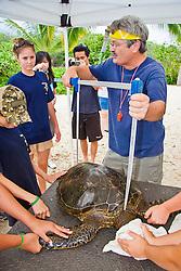 Researcher George Balazs PhD, measuring carapace (turtle shell) of a Green Sea Turtle, Chelonia mydas, at Sea Turtle Research station, organized by NOAA National Marine Fisheries Service (NMFS), Hawaii Preparatory Academy (HPA) students and teachers (NOAA/HPA Marine Turtle Program), and ReefTeach volunteers at Kaloko-Honokohau National Historical Park, Kona Coast, Big Island, Hawaii, Pacific Ocean.