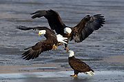 Bald Eagles and other birds feed in the shallow waters of Farmington Bay in Utah, Feb. 03, 2011. Colin E Braley (Wild West-Art & Media)