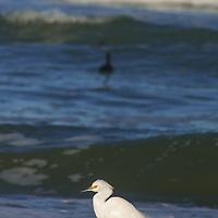 A Snowy Egret (Egreta thula) forages along a Pacific Ocean beach near Pescadero, California. Behind is a Scoter duck.