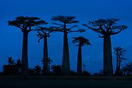 Allee von Grandidier's Affenbrotbäumen (Adansonia grandidieri), Morondava, Madagaskar<br /> <br /> Alley of Grandidier's baobabs (Adansonia grandidieri), Morondava, Madagascar