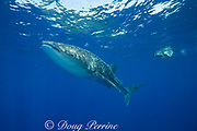 whale shark ( Rhincodon typus ) and snorkeler, Kona Coast of Hawaii Island ( the Big Island ) Hawaiian Islands, USA ( Central Pacific Ocean ) MR 359