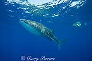 whale shark ( Rhincodon typus ) and snorkeler, Kona Coast of Hawaii Island ( the Big Island ) Hawaiian Islands, USA ( Central Pacific Ocean ) MR 359