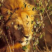 African Lion, (Panthera leo) Mature male in brush. Masai Mara Game Reserve. Kenya. Africa.