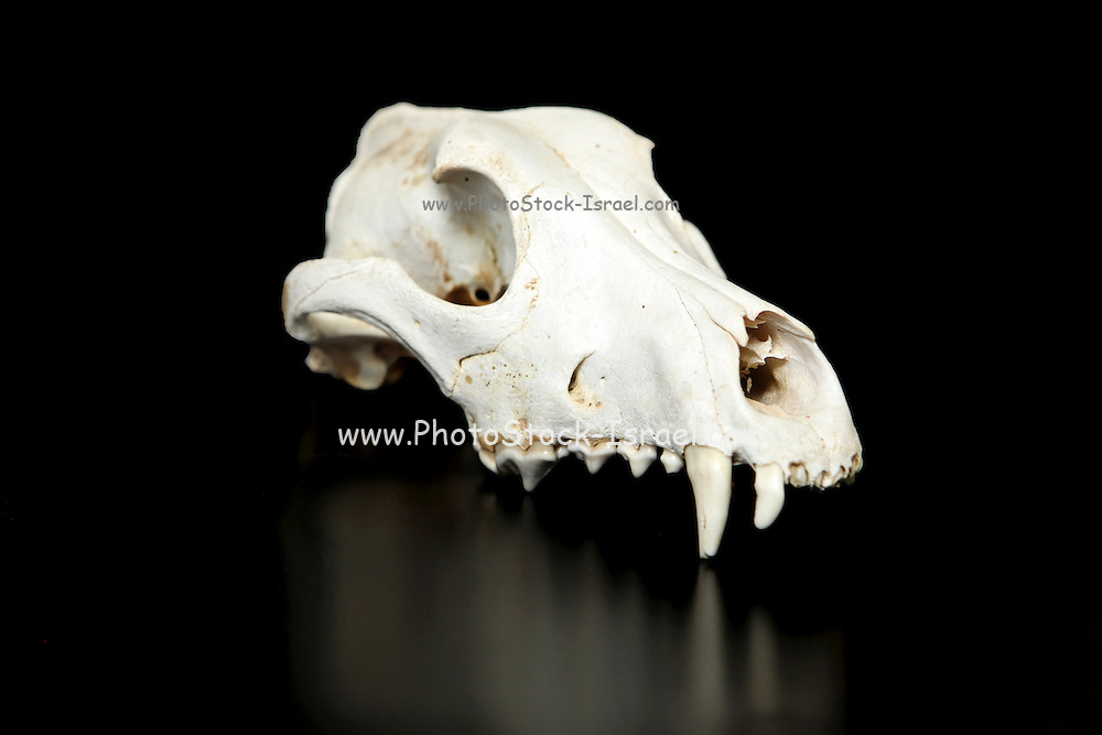 wild boar Animal skull with reflection On black Background