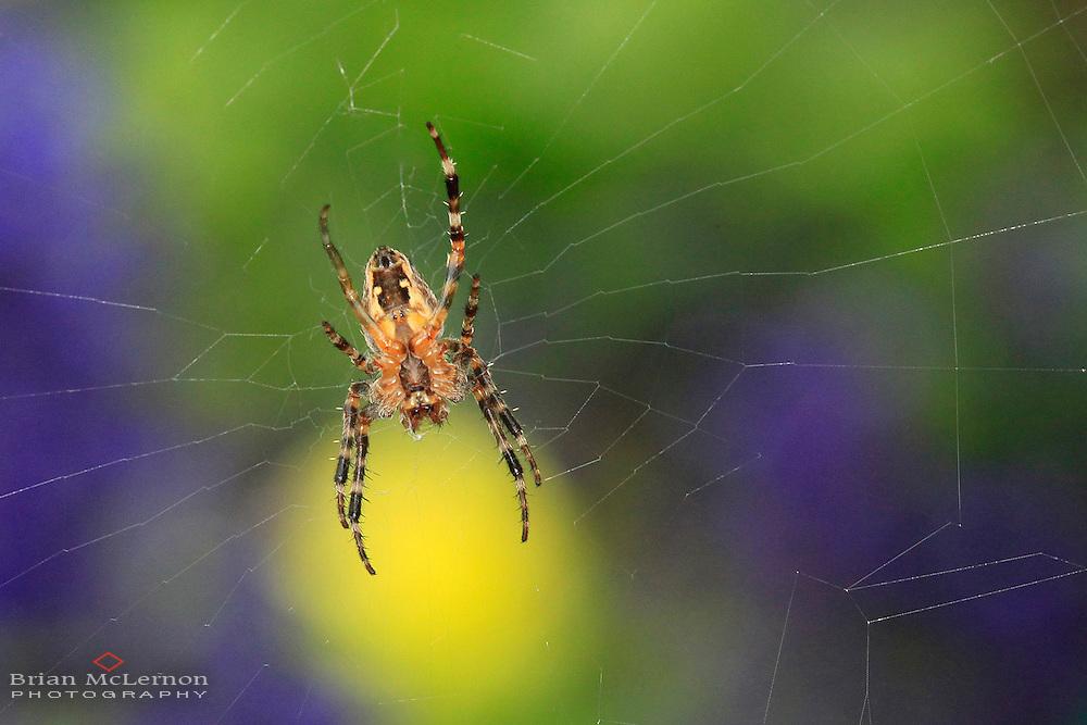 Spider In A Flower Garden