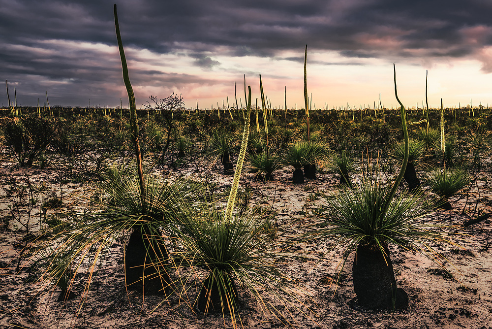 Grass trees (Xanthorrhoea or WA Black Boys) in Cape Arid National Park, Western Australia