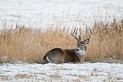 Whitetail deer (Odocoileus virginianus)western Wyoming buck during the fall rut