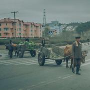 En plein coeur de Pyongyang, des charettes transportent des choux.