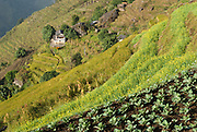 Agricultural terraces in Nepal, growing rice and other crops.