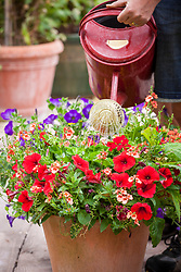 Watering pots of annuals on the patio using a watering can. Diascia and petunias
