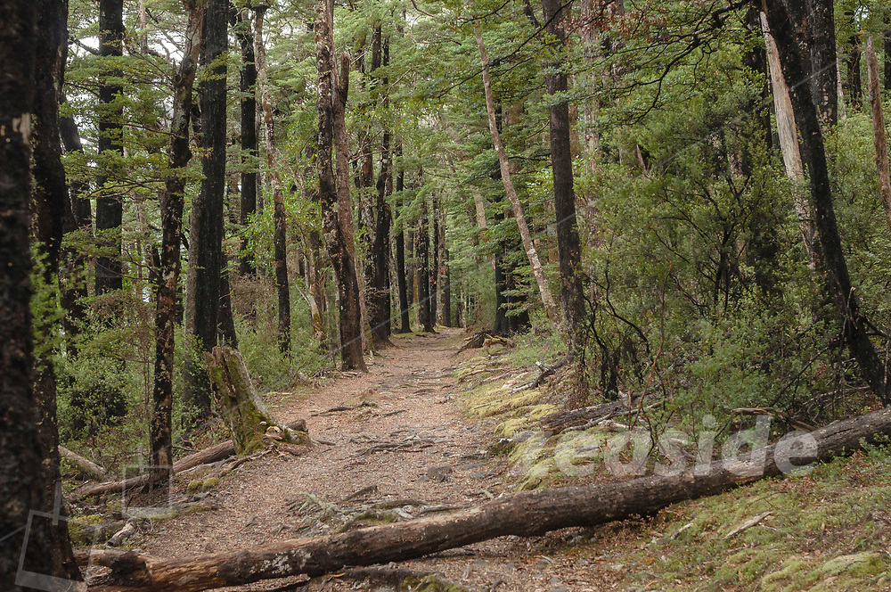 The track that heads along the eastern shores of Lake Rotoiti into the mountain ranges, with native Black Beech forest.