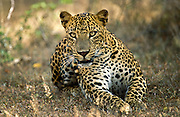 Sri Lanka. Leopard watching.
