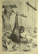 A young Chimpanzee in captivity From the book ' Royal Natural History ' Volume 1 Edited by  Richard Lydekker, Published in London by Frederick Warne & Co in 1893-1894