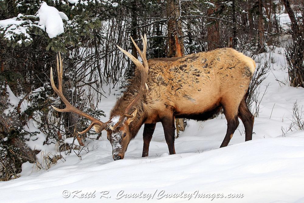 Photo Series of Bull Elk Accidentally Dumping Snow on Itself.
