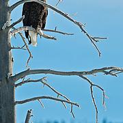 An American Bald Eagle on a frozen Yellowstone National Park winter perch.