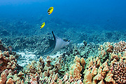 spotted or ocellated eagle ray, Aetobatus ocellatus, being cleaned by Hawaiian cleaner wrasses, Labroides phthirophagus, Honokohau, Kailua Kona, Hawaii Island ( the Big Island ), Hawaii, USA ( Central Pacific Ocean ); racoon butterflyfish, Chaetodon lunula, swim above