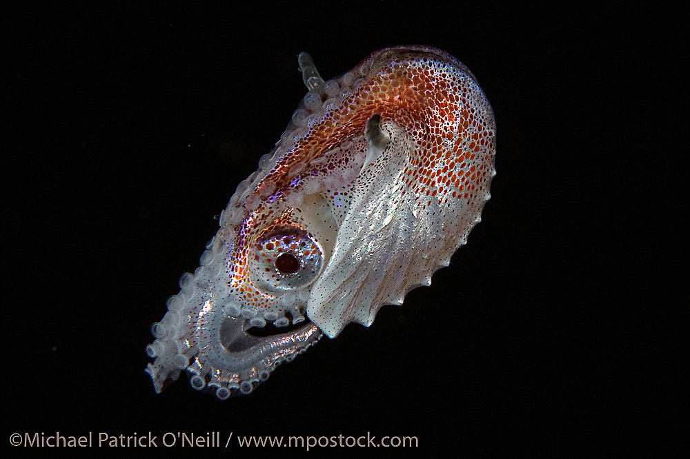 A female Paper Nautilus or Argonaut drifts in the nighttime currents far offshore Palm Beach. Common elsewhere, they are hard to find in Florida. The female creates this shell and deposits her eggs inside.