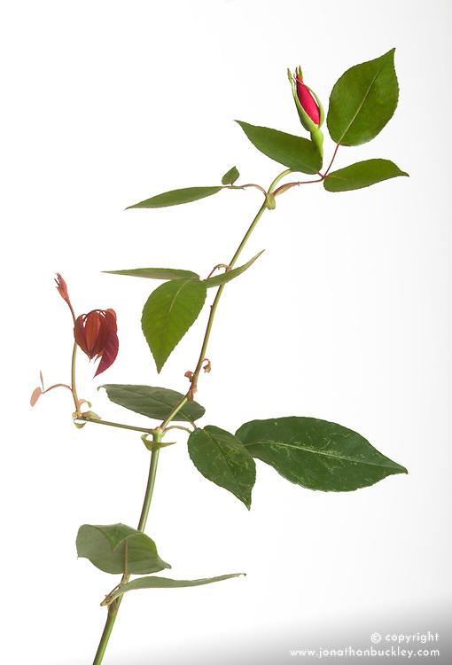 Rosa x odorata 'Bengal Crimson' in bud - cut out