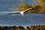 Woodstork landing in marsh with oyster beds and marsh grass