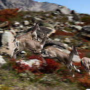 Skittish ibex gallop through the meadows of Tapovan on the Gangotri Glacier, Uttarakhand, India.