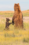Grizzly Bear Mother With Cub Looking For Possible Threats