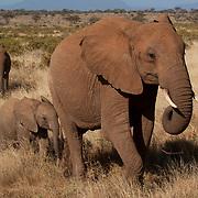 African Elephant (Loxodanta africana) mother with baby in Samburu Game Reserve. Kenya, Africa.
