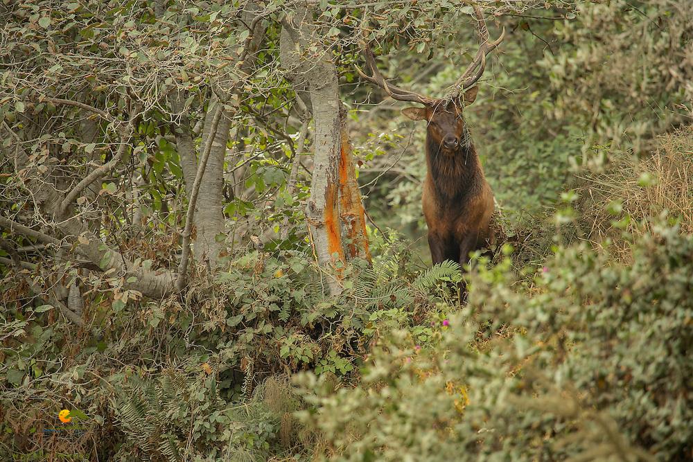 Bull elk rubbing