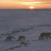 Polar Bear (Ursus maritimus) a mother bear and her two cubs at sunrise. Cape Churchill, near Churchill, Manitoba. November. Canada