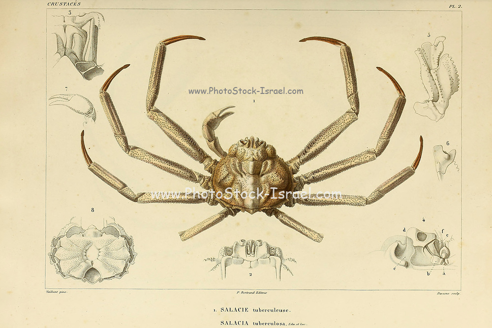 Salacie or salacia Crustaceans (Crustacea) form a large, diverse arthropod taxon which includes such animals as crabs, lobsters, crayfish, shrimps, prawns, krill, woodlice, and barnacles hand coloured sketch From the book 'Voyage dans l'Amérique Méridionale' [Journey to South America: (Brazil, the eastern republic of Uruguay, the Argentine Republic, Patagonia, the republic of Chile, the republic of Bolivia, the republic of Peru), executed during the years 1826 - 1833] Volume 6 Part 1 (Crustacean). By: Orbigny, Alcide Dessalines d', d'Orbigny, 1802-1857; Montagne, Jean François Camille, 1784-1866; Martius, Karl Friedrich Philipp von, 1794-1868 Published Paris :Chez Pitois-Levrault. Publishes in Paris in 1843