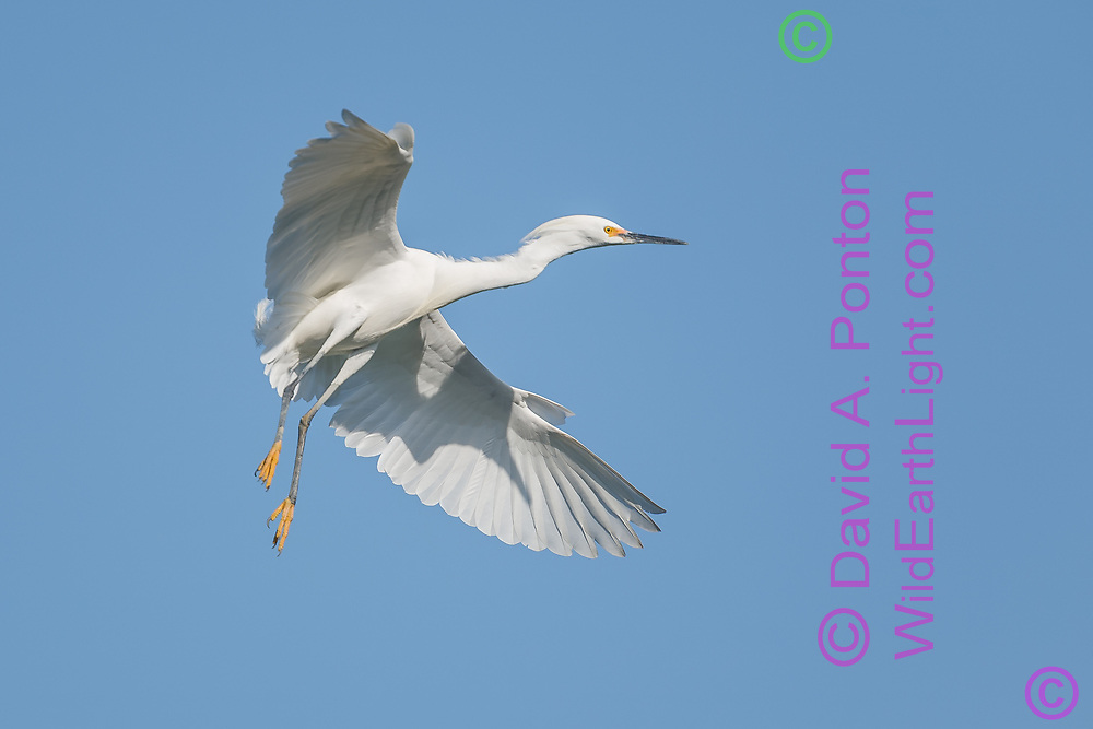 Snowy egret in flight, flaring its wings to slow for landing, © David A. Ponton