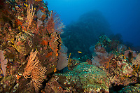 Seafans cover a rocky seamont<br /><br />Coiba Island, <br />Coiba National Park, Panama<br />Tropical Eastern Pacific Ocean<br /><br />Twin Peaks dive site