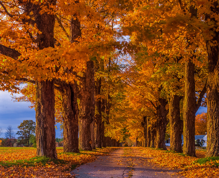 Glowing fall colors in row of maples bordering country road, fall, North Bridgton, ME