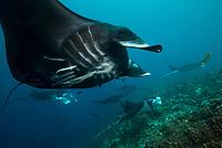 Reef manta ray (Mobula alfredi) aggreagation a species of ray in the family Mobulidae. Dampier Strait, Raja Ampat, West Papua, Indonesia<br /> <br /> SVARTA MANTOR. Mantorna är världens största rockor och lever av att filtrera fram plankton, havets allra minsta invånare. Raja Ampat är världens bästa ställe att se svarta mantor, så kallade melanistiska individer, som revmantan på bilden. De utgör mer än en tredjedel av mantapopulationen här.<br /> <br /> BLACK MANTAS. The manta rays are the world's largest rays feed by filtering plankton, the sea's smallest inhabitants. Raja Ampat is the world's best place to see the black mantas, so-called melanistic individuals, like the reef manta in the picture. They make up for more than a third of the manta population here.