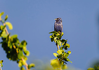 Blue Grosbeak (Passerina caerulea) perched in a tree, Alan Lloyd trail, Ajijic, Jalisco, Mexico