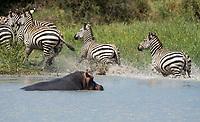 A Hippopotamus, Hippopotamus amphibius, emerges from a pond in Tarangire National Park, Tanzania, frightening a group of Grant's Zebras, Equus quagga boehmi.