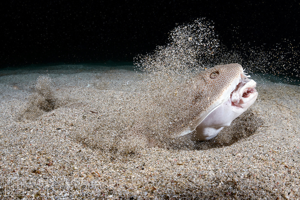 A Japanese angelshark (Squatina japonica) engaged in ambush predation, leaping out of the sand to grab a small silver-stripe round herring (Spratelloides gracilis). The cloud of sand thrown up by the shark underscores the speed and force of the strike.