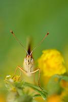Fritillary butterfly, Melitea sp.,North Velebit National Park,  Velebit Nature Park, Rewilding Europe rewilding area, Velebit  mountains, Croatia