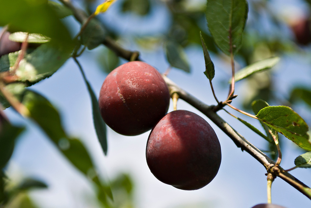 Zwei reife Pflaumen hängen an einem Zweig      two ripe plums    