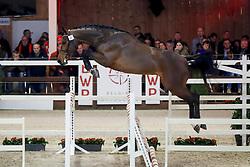 061, Picasso van't Koningsbos<br /> Hengstenkeuring BWP - Lier 2018<br /> © Hippo Foto - Dirk Caremans<br /> 20/01/2018