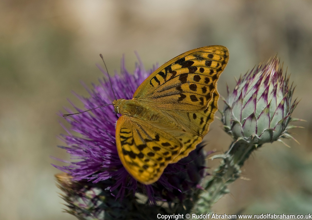 High Brown Fritillary (Argynnis adippe), in the village of Jovici, near the Velebit Channel and Southern Velebit mountains, Croatia